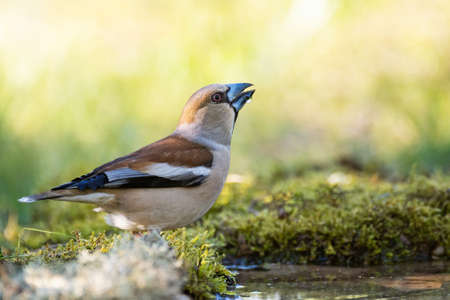 Hawfinch Coccothraustes coccothraustes. drinks water close up.