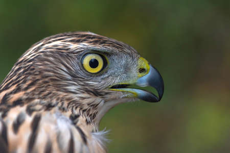 Adult Northern Goshawk close up. Accipiter gentilis. Stock Photo