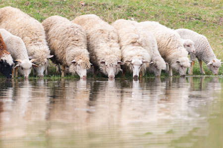 A group of sheep drink water from a lake.