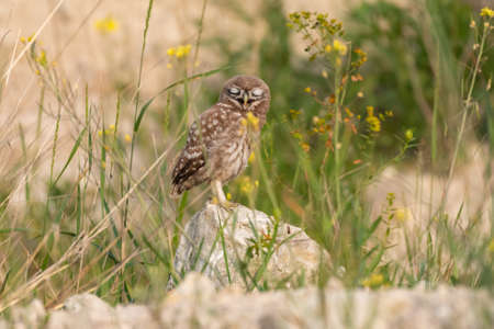 Young little owl Athene noctua hiding in the grass.