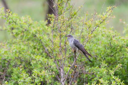 Birds Common Cuckoo Cuculus canorus. In the habitat.