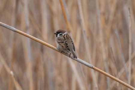 Tree sparrow Passer montanus in the wild.