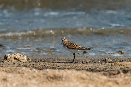 Bird Little stint Calidris minuta. in the wild. Stock Photo