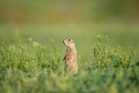 Ground squirrel Spermophilus pygmaeus stands in the grass in a meadow. Stock Photo