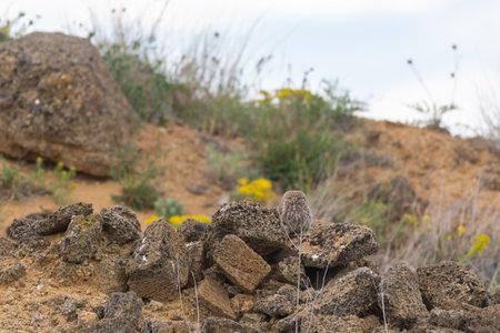 Wild adult bird Little Owl Athene noctua, hiding in the rocks. Stock Photo