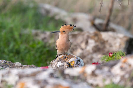 Bird Hoopoe Upupa epops, in the nabitat.