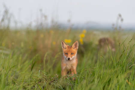 Portrait of a red fox cub Vulpes vulpes in the wild.