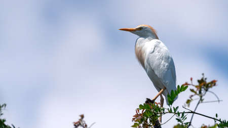Cattle Egret, Bubulcus ibis, sitting on a stick against the sky.