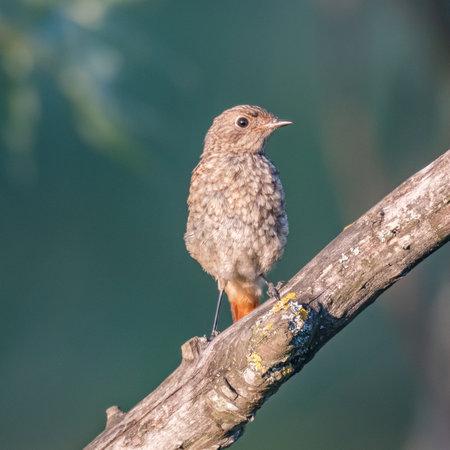 Redstart Phoenicurus phoenicurus perched on a branch.