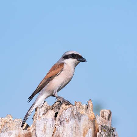 Bird Red-backed Shrike, Lanius collurio. In the wild.