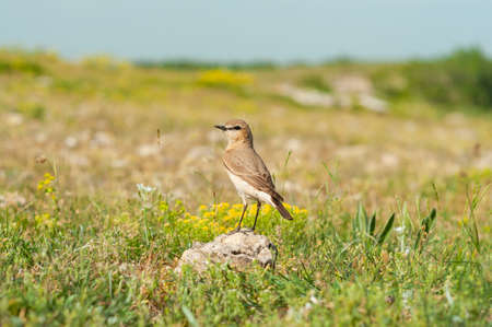 Isabelline Wheatear Oenanthe isabellina in the wild. Фото со стока