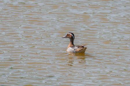 Bird Garganey Anas querquedula. Wild life animal. Фото со стока