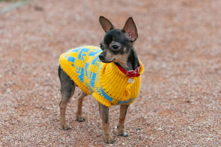 Dog in stylish autumn clothes on a walk.