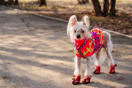 A dog in stylish autumn clothes on a walk. Фото со стока