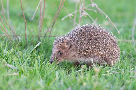 European Hedgehog Erinaceus europaeus in the wild.