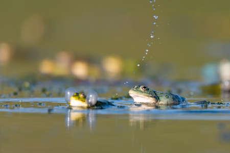 Green frog Pelophylax ridibundus in the wild. Фото со стока
