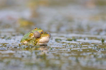 Green frog Pelophylax ridibundus mating in the habitat. Фото со стока