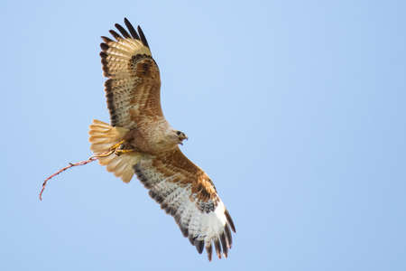 Long-legged Buzzard Buteo rufinus in flight, holding a snake in its paw against the sky.