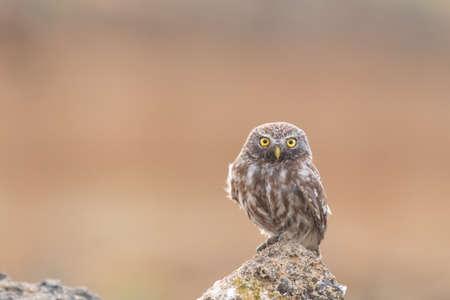 Bird female Little owl Athene noctua sitting on a stone and looks forward. Фото со стока