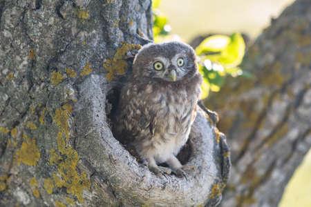 Little Owl, Athene noctua. Portrait owlet bird in the nature habitat.