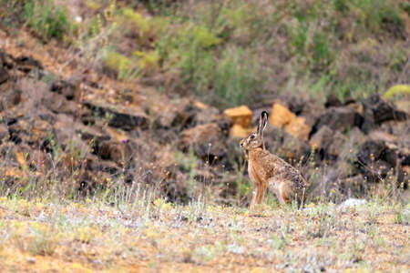 The European hare is sitting in the grass. Lepus europaeus.