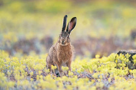 European hare stands in the grass. Lepus europaeus.