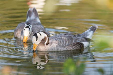 Bar headed goose, Anser indicus, birds swims on the lake.