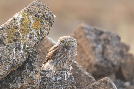 Little owl Athene noctua hides in the rocks and looks forward.