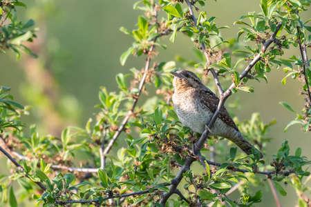 Bird Wryneck Jynx torquilla in the habitat.