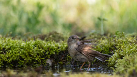 Whitethroat Sylvia communis in the wild nature, standing in the water.