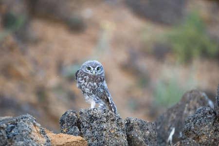 Little Owl, Athene noctua. Portrait owlet bird in the habitat.