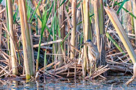little bittern Ixobrychus minutus hiding in the reeds.