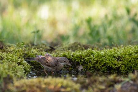 Whitethroat Sylvia communis in the wild nature, bathing bird.