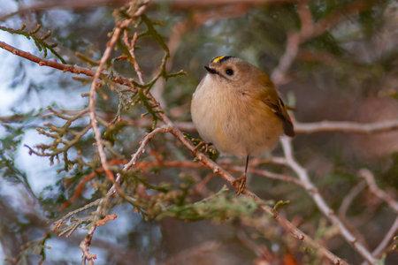 Goldcrest, Regulus regulus. Wild bird in a natural habitat. Фото со стока