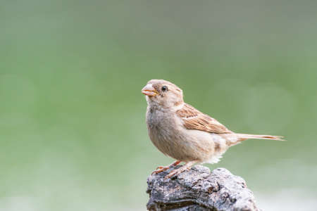 House sparrow Passer domesticus in the habitat.