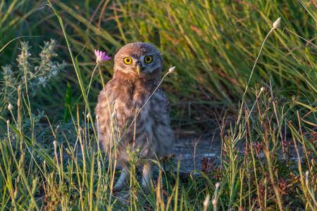 Owlet Little owl in natural habitat Athene noctua.