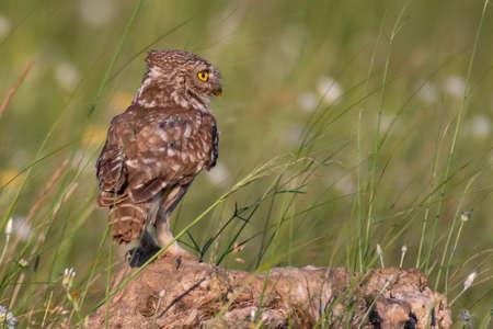 Little owl in natural habitat Athene noctua.