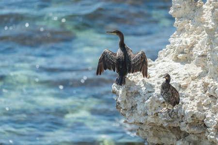 European shag or common shag Phalacrocorax aristotelis, cormorant dries feathers.