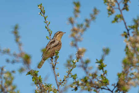 Eurasian Wryneck Jynx torquilla sitting on a flowering branch against the sky.