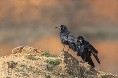 Two wet birds Rook Corvus frugilegus dry their feathers.