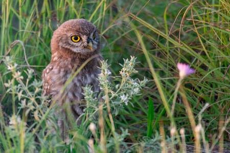Bird Owlet Little owl in natural habitat Athene noctua.