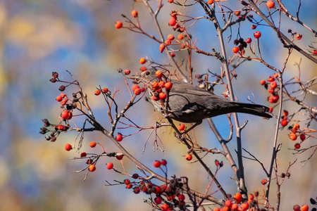 Common blackbird Turdus merula single bird on berries.