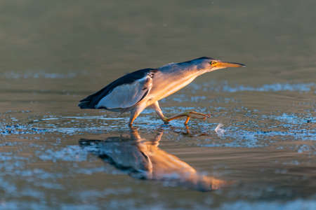 Little bittern, Ixobrychus minutus, hunting in the river.