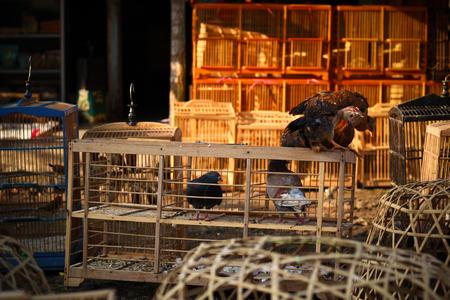 kampong chicken Stock Photo