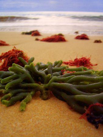 spongy: Ocean reflux left on the sandy shore of bright spots of seaweeds.  November. Portugal. Algarve.