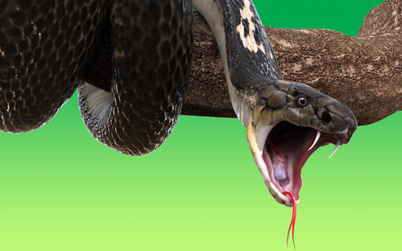tongue out: King Cobra snake on tree branch, isolated on green background