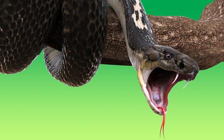 serpiente cobra: serpiente de la cobra real en la rama de un �rbol, aislado en fondo verde