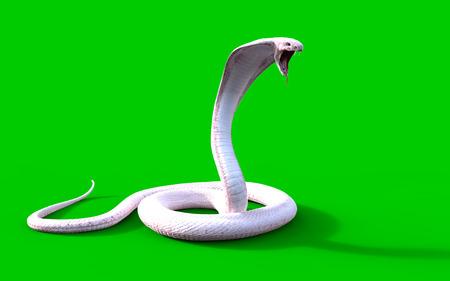 3d Albino king cobra snake isolated on green background, snake attack