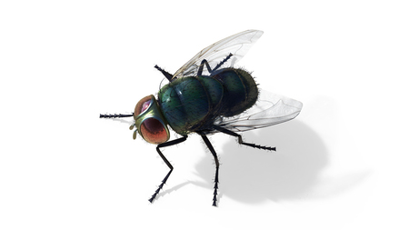 Common green bottle fly sitting isolate on white background, 3d Illustrations , 3d Render, green fly Stock Photo