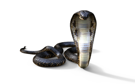 3d 킹 코브라 흰색 배경, 킹 코브라 뱀, 3d 일러스트 레이 션, 3d 렌더링에 고립 된 세계에서 가장 긴 악의 찬 뱀 3d 렌더링
